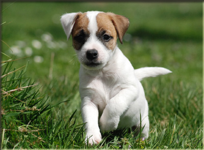 Parson Russell Terrier Of Jack and Co.